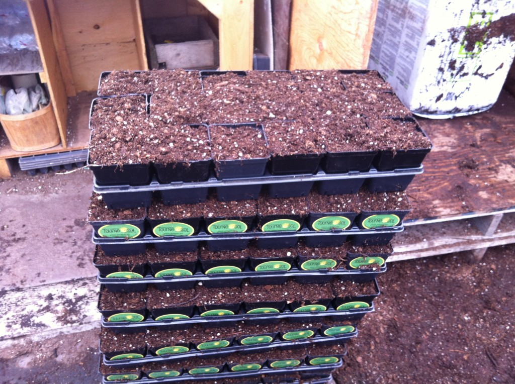 trays filled with potting soil