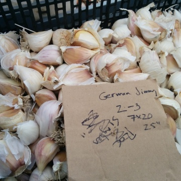 "some ""german jimmy"" garlic derived from Jamie Quinn's stock (Ferme Terre Bleue), cracked and waiting to be planted."
